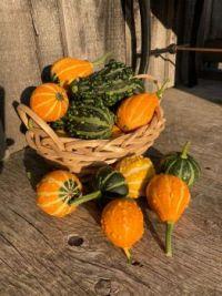 Sunlit Gourds