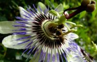 Bees on the passion flower