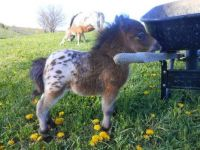 The Tiniest Appaloosa In The Land