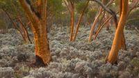 eucalyptus-tree-tree-wallpaper