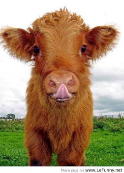 Cows Can be Cute To...