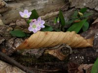 Early Woodland flower