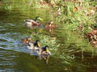 Some ducks swimming along a brook