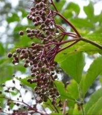 Series: Elderberry in the rain. Vlierbes in de regen
