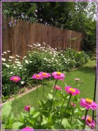 zinnias and daisies