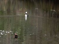 Bufflehead Duck swam/ flew with us on boat ride !