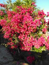 Bougainvillea at Christmastide