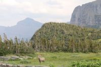 Sheep at Logan Pass