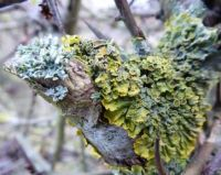 Lichen / fungus on a Maythorn bush.
