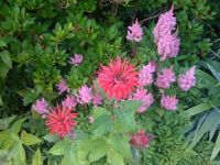 Red-Bee-Balm-Pink-Astilbe1600x1200