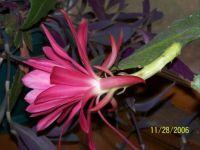 orchid cactus 3