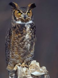Great Horned Owl, (Bubo virginianus) 2  by ER Post