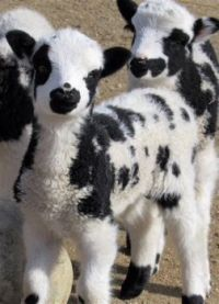 Jacob lambs, a rare and very cute breed