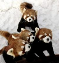Red Panda All in the Family