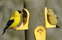New Arrivals: Goldfinch male and female