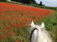 Poppies in the Finn Valley