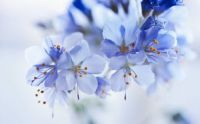 blue-flowers-close-up-bokeh-