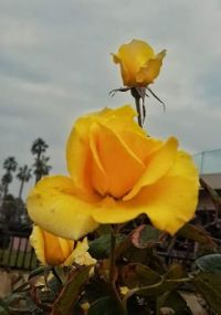 Yellow Roses on Sky