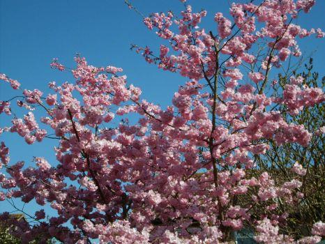 Cherry Blossom - Spring at last