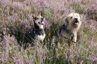 My Bambi and Sylvia's Bobbie on the heath / de heide