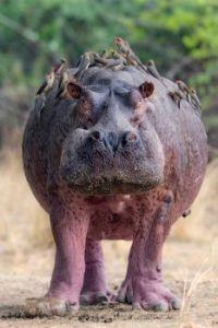Hippo taxi