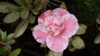 Pretty azalea