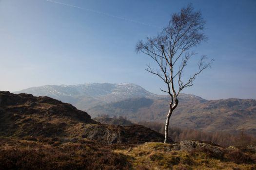 Silver Birch, Holme Fell
