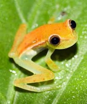 Christmas Tree Frog...Ecuador.