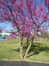 Oklahoma redbud trees