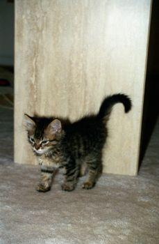 Mini fluffy kitty