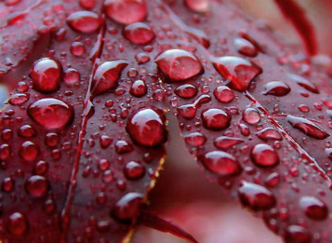 Rain on Red Maple Leaf - The trees need this!