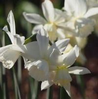 """Pueblo"" daffodil"