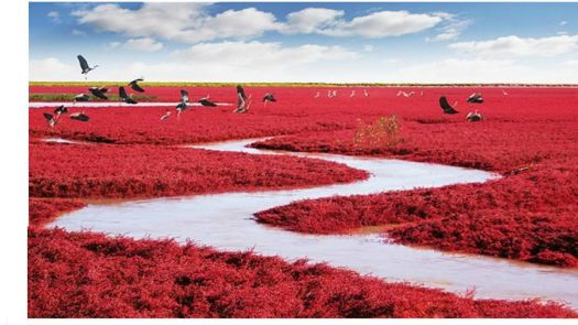 Red Beach, Liao He River Delta, China