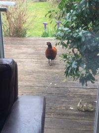 Pheasant on my patio