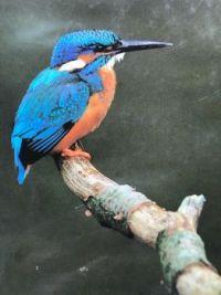 IJsvogel, foto Hazelhof
