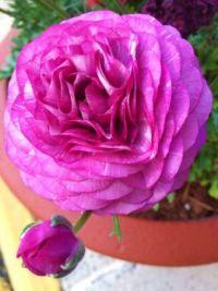 Ranunculus--more challenging