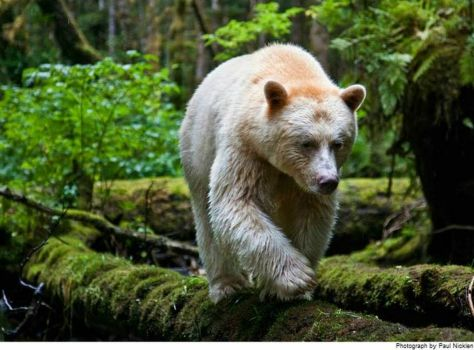 The Spirit Bear from The Great Bear Rainforest in B.C., Canada