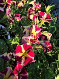 Petunias, Early Morning (large)