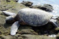 18 01 10 turtle in honokohau bay