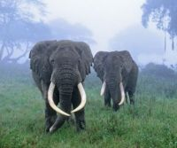 Theme: Forest animals, African forest elephants