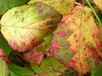 Autumn. The several colours on one leaf