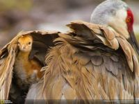 THEME: Birds   Sandhill Crane and Chick by Scott Helfrich for National Geographic