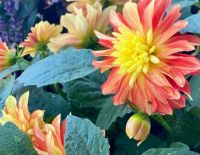Dahlia in bud and bloom