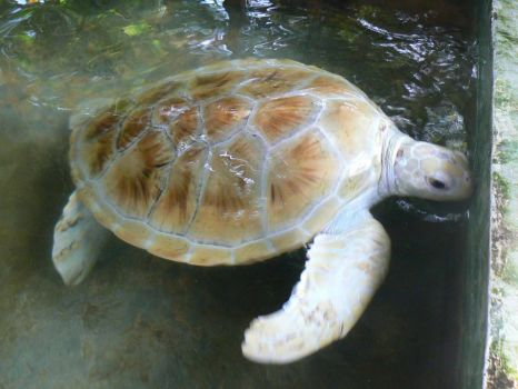 An albino green turtle