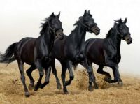 3 black horses