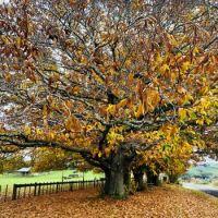 Autumn Leaves NZ