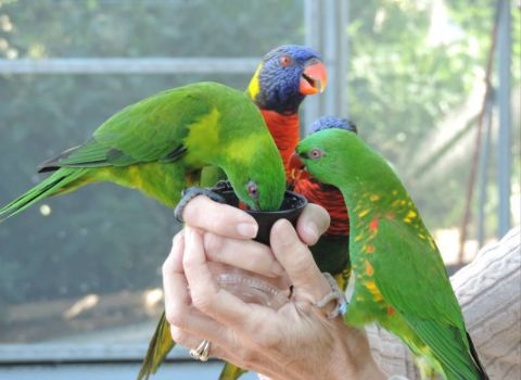 Lorikeets at Observatory taken today.