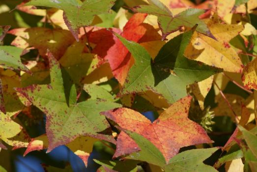 Sweet Gum Leaves