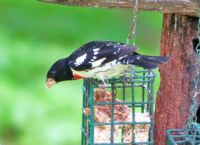 Just passing through-Rosebreasted grosbeak