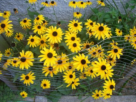 BLACKEYED SUSANS 9-4-09